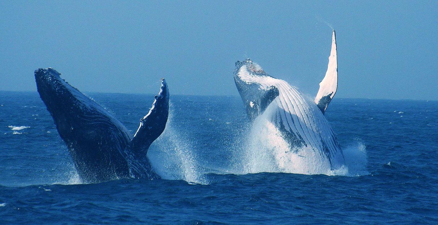 baleines afrique-du-sud